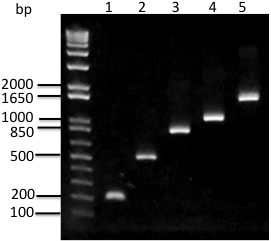 Gel electrophoresis image of lambda phage gene fragments amplified with Chai PCR Master Mix 2X